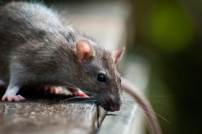 Как избавиться от крыс в помещении: методы борьбы