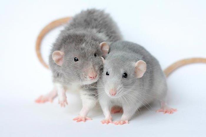 Как избавиться от мышей и крыс в доме навсегда